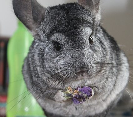 Things That You Should About Your Pet Chinchilla